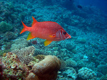 Squirrel fish. Belonging to the order Beryciformes, are brightly colored, medium -sized fish that are active mostly at night Royalty Free Stock Photos