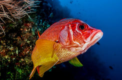 Squirrel fish. In front of the camera, close up shot Stock Photography