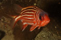 Squirrel fish (Sargocentron rubrum) Stock Images