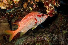 Squirrel fish - Sargocentron spiniferum - Red Sea Stock Images