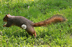 A Squirrel Flies in The Cleveland Metroparks Stock Photos