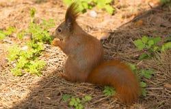 Squirrel a floresta engraçada da mola dos animais de estimação da pele vermelha no animal selvagem da natureza do fundo temático Fotos de Stock Royalty Free