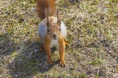 Squirrel a floresta engraçada do outono dos animais de estimação da pele vermelha no animal selvagem da natureza do fundo temátic Imagem de Stock Royalty Free