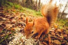 Squirrel a floresta engraçada do outono dos animais de estimação da pele vermelha no fundo Imagens de Stock Royalty Free