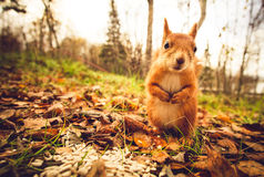 Squirrel a floresta engraçada do outono dos animais de estimação da pele vermelha no fundo Imagem de Stock