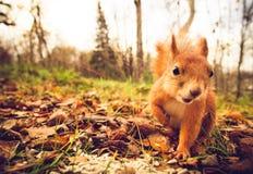Squirrel a floresta engraçada do outono dos animais de estimação da pele vermelha no fundo Fotos de Stock