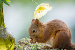 Squirrel flower delight Royalty Free Stock Photo