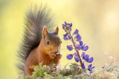 Squirrel and flower Stock Image