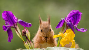 Squirrel between flowers Royalty Free Stock Photos
