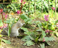 Squirrel among flowers Royalty Free Stock Image