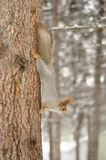 Squirrel on a tree trunk. Stock Photos