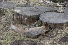 A squirrel with a fluffy tail is looking for nuts on next to a wooden stump. Brown animal rodent in natural. Nature stock images