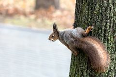 Squirrel with fluffy tail sitting with nut on tree trunk Stock Photos