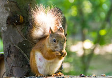 Squirrel with a fluffy tail sitting on a table eating sunflower seeds and nuts Royalty Free Stock Photos