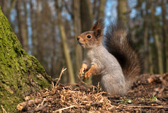 Squirrel with a fluffy tail standing on its hind legs. Close-up. Stock Photo