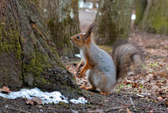 Squirrel with a fluffy tail standing on its hind legs. Close-up. Royalty Free Stock Photos