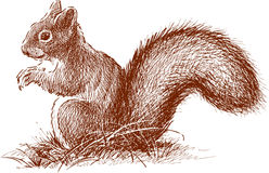 Squirrel with the fluffy tail vector illustration