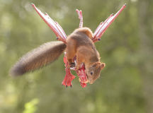 Squirrel on a flying dragon with peanut. Red squirrel sitting on a flying dragon with peanut Stock Photos