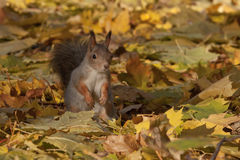 Squirrel on the foliage of maple Stock Photo