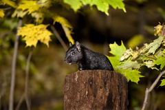 Squirrel in a forest. Black squirrel on a stump in a forest stock photography