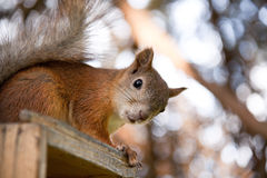 Squirrel in a forest Royalty Free Stock Photography