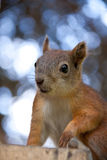 Squirrel in a forest Stock Photography