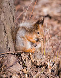 Squirrel in forest Royalty Free Stock Photography