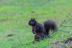 Squirrel in the forest Royalty Free Stock Photo