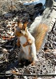 Squirrel in a forest royalty free stock photo