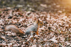 Squirrel in the forest and dry leaves in spring Stock Photo