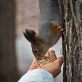 Squirrel in a   forest gets food. Stock Image