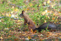 Squirrel on a forest glade Royalty Free Stock Photos