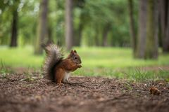 squirrel in the forest, gnaws a nut. stock photography