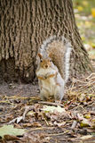Squirrel in the forest Royalty Free Stock Image