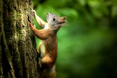Squirrel, Forest, Rodent, Tree Royalty Free Stock Photography