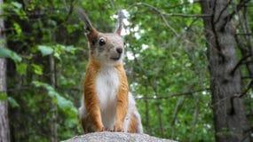 Squirrel In the forest. Squirrels, squirrellife, animalportrait, animalportraits, orava, oravat, oravia, woods, nature, naturephotography, cuteanimal royalty free stock image