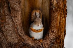 Squirrel in the forest. In winter stock images