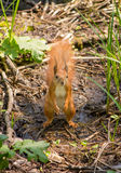 Squirrel in the forest. Stands on its hind legs Royalty Free Stock Photos