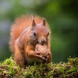 Squirrel Royalty Free Stock Photography