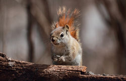 Squirrel in forest Royalty Free Stock Photos