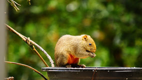 Squirrel. With forest in Thailand Stock Photography