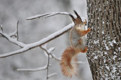Squirrel with in the forest Stock Photography