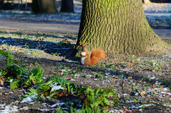 Squirrel in the forest Royalty Free Stock Photos