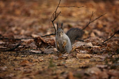 Squirrel in front gopher. Stock Photo