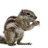 Squirrel in front of a white background. Barbary Ground Squirrel eating nut, Atlantoxerus getulus, against white background, studio shot Royalty Free Stock Photography