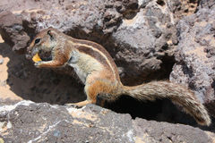 Squirrel, Fuerteventura Royalty Free Stock Images