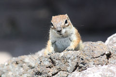 Squirrel, Fuerteventura Royalty Free Stock Photos