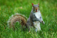 Squirrel with funny face. The funny faced little squirrel stock image
