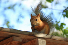 Squirrel. The funny squirrel gnaws nutlets royalty free stock photo