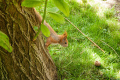 Squirrel gaining for a nut Royalty Free Stock Image